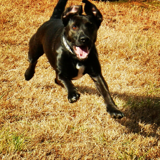 Stony on the run, chasing a Frisbee. #instaanimalct