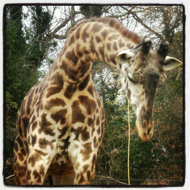 """I'm ready for my close-up"" #giraffe #zoo"